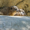 ROCK HYRAX<br /> two babies