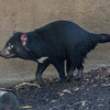 TASMANIAN DEVIL Male - Conrad