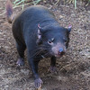 TASMANIAN DEVIL<br /> male, Nick