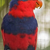 RED-AND-BLUE LORY