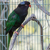 MOUNT GOLIATH LORIKEET - BLACK PHASE