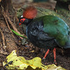 MALE CRESTED WOOD-PARTRIDGE
