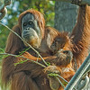 SUMATRAN ORANGUTAN 5 month-old Aisha with her mom Indah.