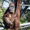 FEMALE SUMATRAN ORANGUTAN - INDAH WITH HER BABY DAUGHTER AISHA.
