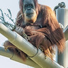 FEMALE SUMATRAN ORANGUTAN - INDAH. She is currently pregnant and due in October 2013.