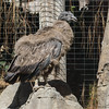 ANDEAN CONDOR Recently fledged chick.