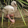 RECENTLY HATCHED CARIBBEAN FLAMINGO CHICK.