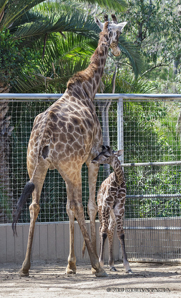 MASI GIRAFFE Adult female Nikki with her week-old female calf.