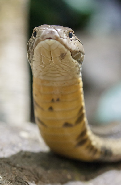 FEMALE KING COBRA
