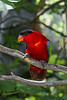 Black-capped Lorikeet