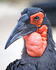 A male Southern Ground Hornbill