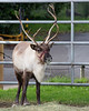 Female Reindeer.  From what I understand, the females keep their antlers longer than the males.