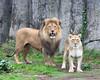 African Lions, Jahari & Sukari