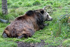 After taking a swim, Kiona stretches out on the grass to dry off. (Grizzly Bear)