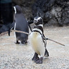 Magellanic Penguin coming in for its brunch!  Fish is on the menu!