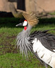 East African Crowned Crane.  Nice feathers!