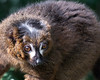 A close up of a Red-bellied Lemur