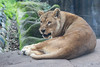 Amazni, an African Lioness
