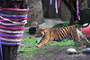 Jillian makes a dash across the yard.  (Sumatran Tiger, Jillian's Birthday Party - 2/10/2014)