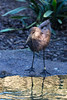 Hamerkop comes down to the pond for a drink.