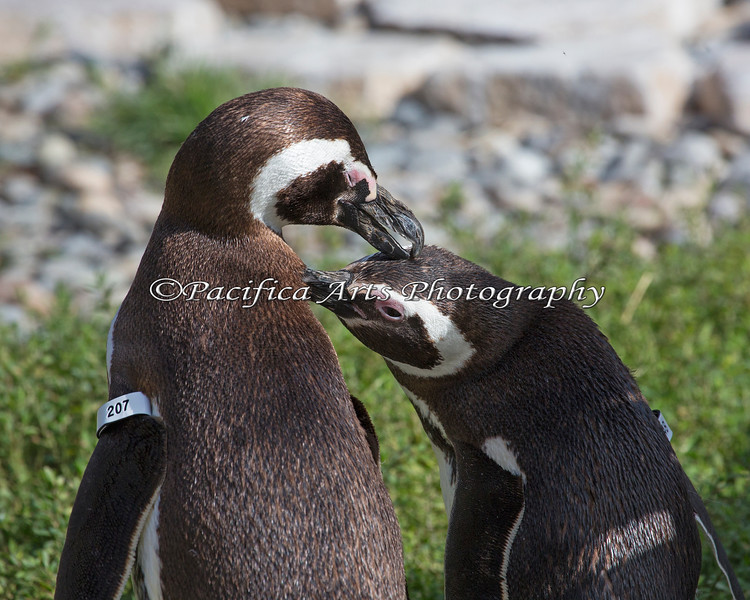 If you scratch my neck, I'll groom your forehead.  That works!  (Magellanic Penguins)