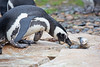 """Oh boy - my favorite!""  (Magellanic Penguin)"
