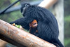 Mom gathers up some lunch, while baby takes a look around.  (Francois' Langur)