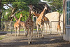 Just look at this herd of Reticulated Giraffes....and that's not even all them!  Here, we have Erin, Sarah, Bititi, Barbro, Bobby, and Floyd in the back.