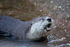 Kelly, a North American River Otter, enjoying catching her own fish in the pool.