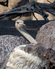 """I see you over there taking my picture!""  <br /> There are actually 3 ostriches, but you only see one head in this shot."