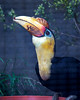 This Wrinkled Hornbill found something tasty in its food dish!
