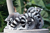 A group of Ring-tailed Lemurs snuggling down for a nap.