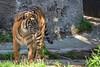 Jillian - all grown up!  (Sumatran Tiger)