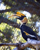 Hercules, a Great Indian Hornbill