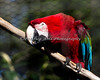 Green-winged Macaw in the aviary at Puente al Sur.