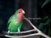 """Peach-faced Lovebird, """"Kindness.""""  He's a cutie!  Thanks to the Keeper for his name!"""