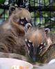 Here's our two South American Coati girls.