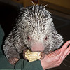 Just Adorable!<br /> (Prehensile-tailed Porcupine - Sassafras)