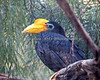 Here we have a Wrinkled Hornbill