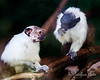 A couple of female Pied Tamarins