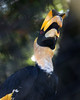 Looking up at Hercules, a Great Indian Hornbill.  Love those red eyes!