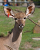 Little Madison is growing fast!  (Greater Kudu)