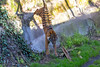 This is Jillian, at a little over 2 years old.  When she was a little cub, her mom, Leanne, had to carry her down to the grass area.  Now Jillian takes the express route!  (Sumatran Tiger)