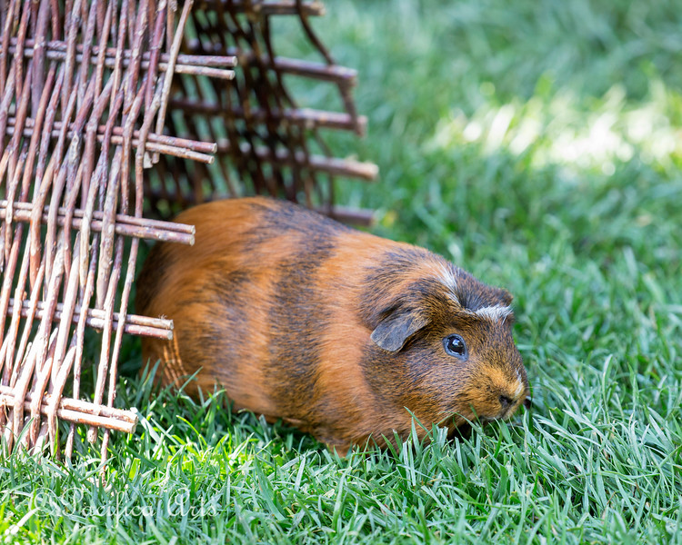 Guinea Pig - doesn't get much cuter than this little one!