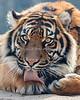 Jillian will be turning two years old in February.  Time flies!  (Sumatran Tiger)