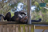 Chimpanzee, Maggie, getting a better view on things.