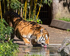 Bronevik comes down to the pool for a drink. (Amur or Siberian Tiger)