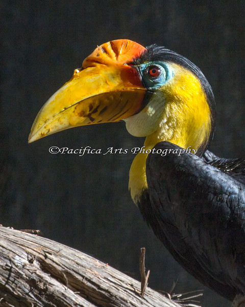 Wrinkled Hornbill.  And he really has a wrinkle in his bill!