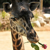 Sofie's mother, Hasina, was given a pink rose, by her animal keeper, in celebration of her first Mother's Day. This picture was quickly taken before Hasina ate the entire rose.