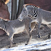 Grevy's Zebras.  The male in the back was more than a little frisky and the female was not.